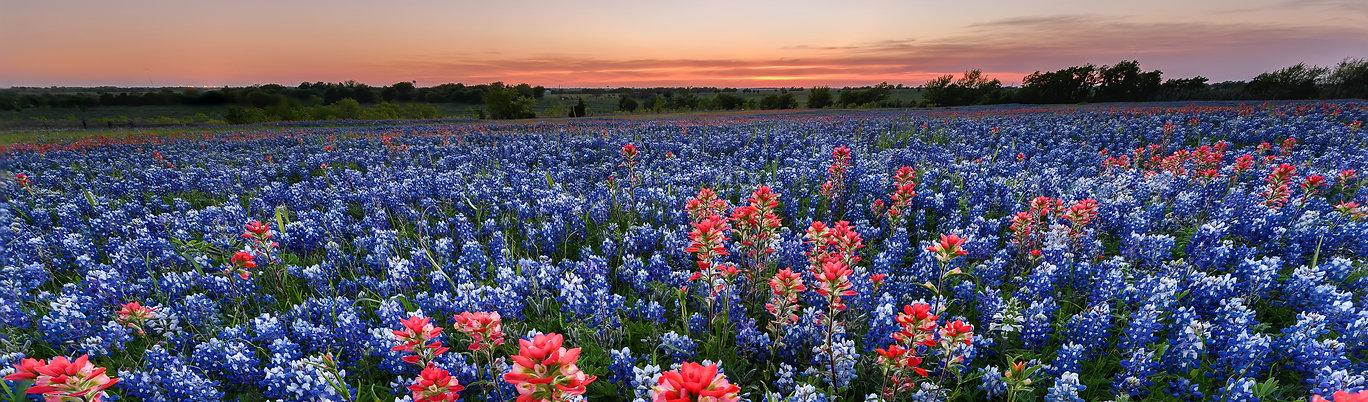 Bluebonnetts in Grapevine Texas