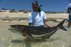 Huge cobia on fly