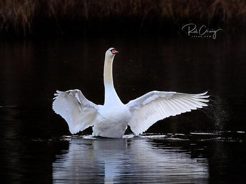 Trumpeting Swan