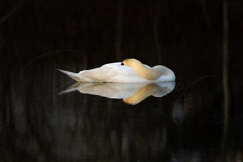 Napping Swan