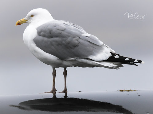 Winter Gull