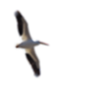 Pelican for Web Page.png