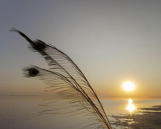 bigstock-Silhouette-Of-A-Peacock-Feathe-