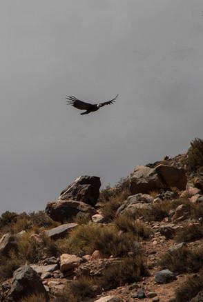 Condor birdwatch Mendoza - Los Andes_edi
