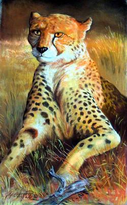 liegender gepard frontal in hohem gras -