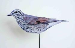 837-a-schieferdrossel-Geokichla sibirica