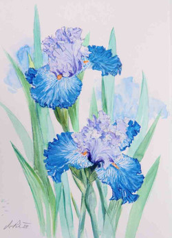 Iris-zweifarbig-aquarell