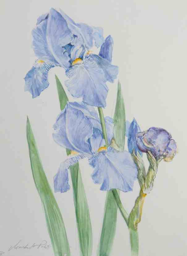 irisblüten blassblau aquarell