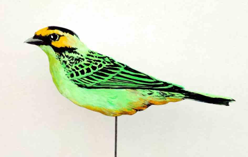 532-a-Goldohrtangare-tanagara chrysotis-golden