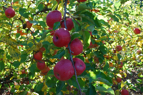 Pomme pink cripps