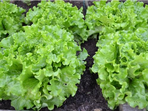 Lot de 4 salades batavia verte