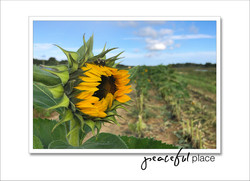 Peaceful Place - Sunflowers