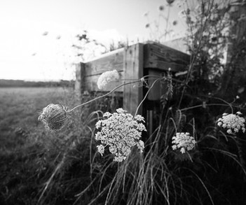 Queen Anne's Lace, EH
