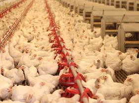 食物知情權 — 來自波蘭的雞肉