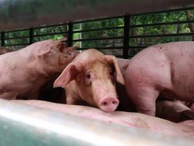 從非洲豬瘟事件看畜牧業與動物福利