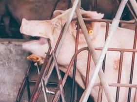 我們不吃狗,卻吃豬?