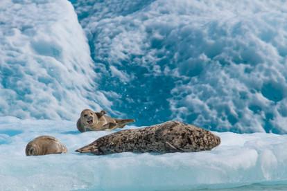 Seal Giggles