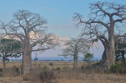 Morning Stroll Among Baobabs