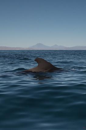 Lone Pilot Whale
