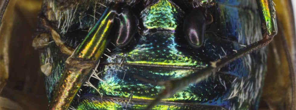 Tiger Beetle Structural Color
