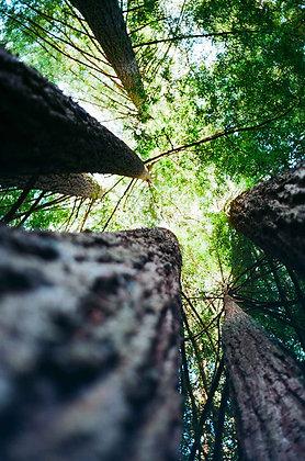 Sequoia Canopy #1 (2018)