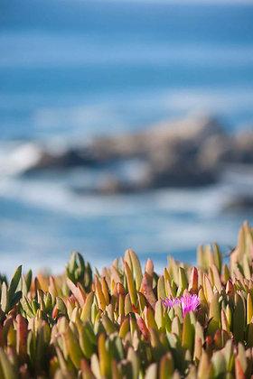 Coastal Succulents (2014)