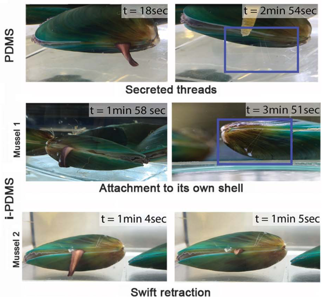 Mussel attachment and behavior on coatings