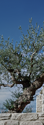 The olives throughout the Resortkl.png