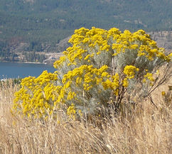 Common Rabbitbrush (Ericameria nauseosa)