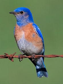 Western_Bluebird_-_male.jpg