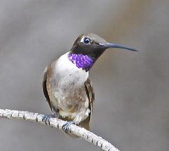 Black chinned hummingbird.jpg