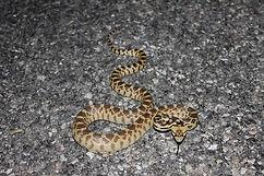 Great_Basin_Gopher_Snake.jpg