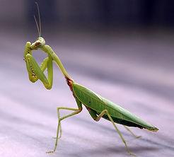 Praying_mantis.jpg