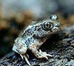 Spadefoot_wikimedia.jpg