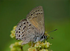 behr's%20hairstreak_sararegistry_edited.
