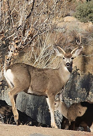 1084px-Mule_deer_buck_full-face_edited.j