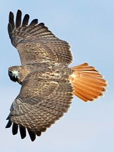 red%20tailed%20hawk_edited.jpg