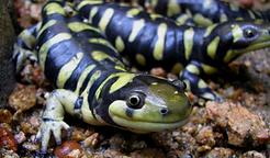 Salamandra_Tigre.png