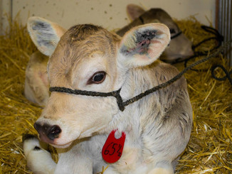 Calf Management