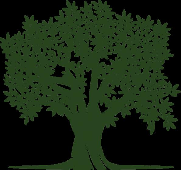 Olive oil tree Natural virgin oil