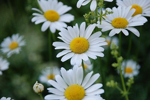 German Chamomile Flower Essence