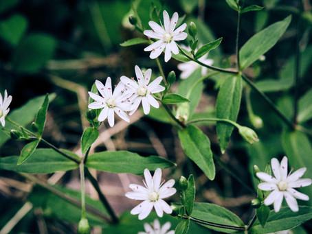 Botanical Morphology: Three Chickweeds of the Appalachians