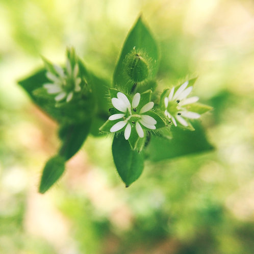 Chickweed, Dried
