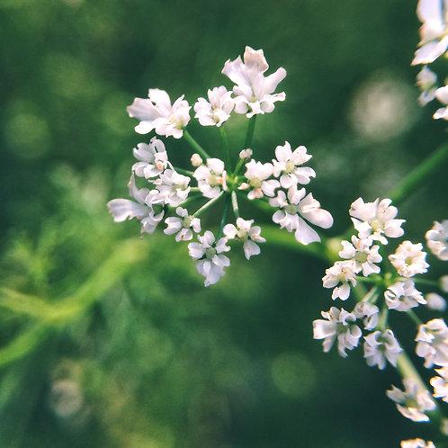 Cilantro Flower Essence