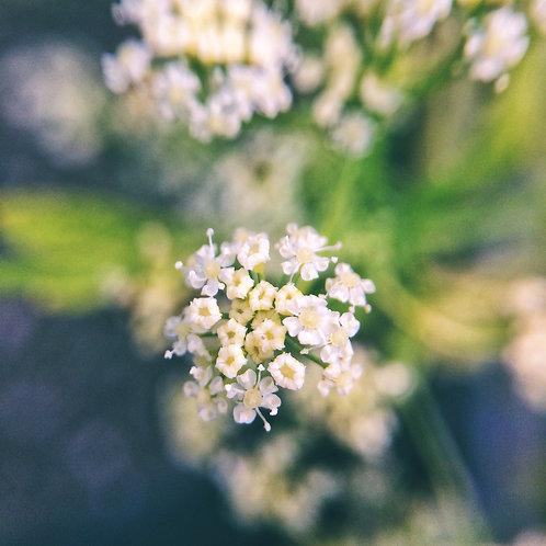 Celery Flower Essence