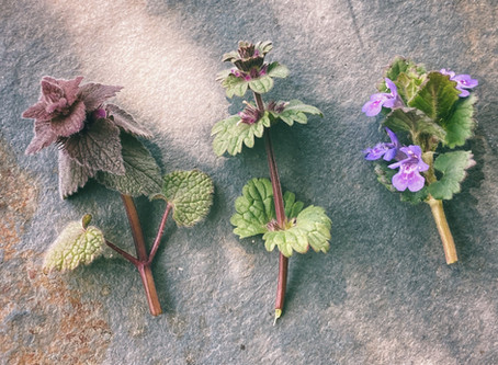 Differential Morphology of Purple Deadnettle, Henbit, & Ground Ivy