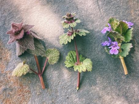 Differential Morphology of Purple Deadnettle, Henbit, & Ground Ivy