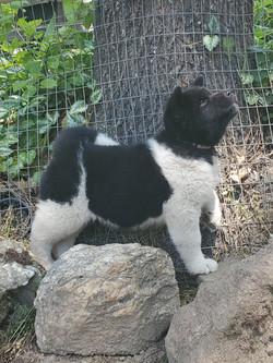 Shobu as a pup 6wks.jpg