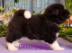 Destiny LC female right.jpg