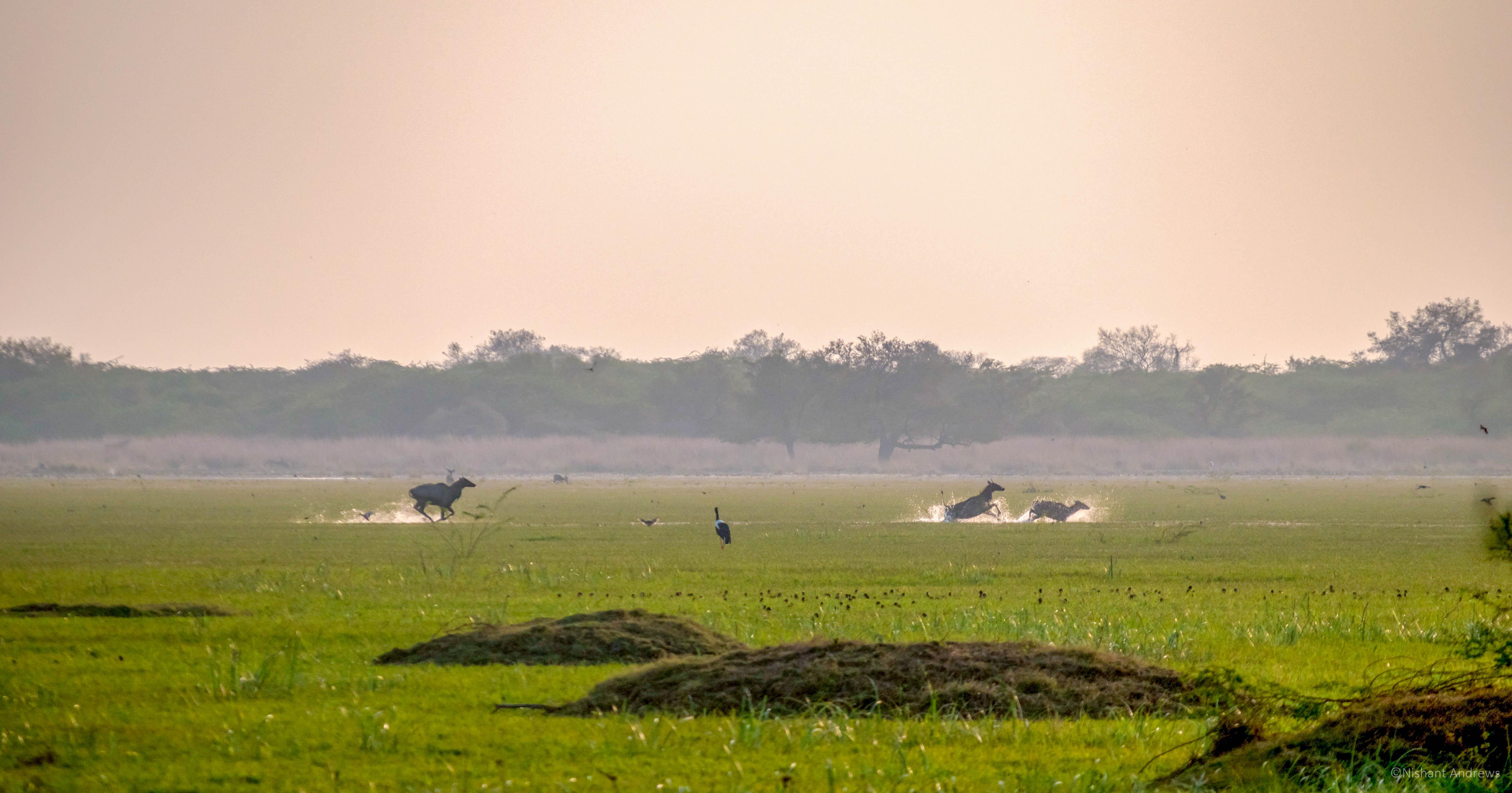 Bluebulls, Rajasthan